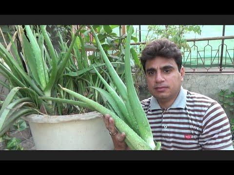 How to Take Care of a Aloe Vera Plant | Large Aloe Vera Plant | Plant Ko Repot Kese Kia Jay