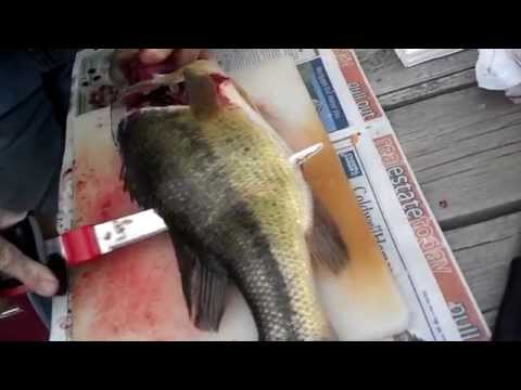 LARGEMOUTH BASS CLEANING WITH ELECTRIC KNIFE