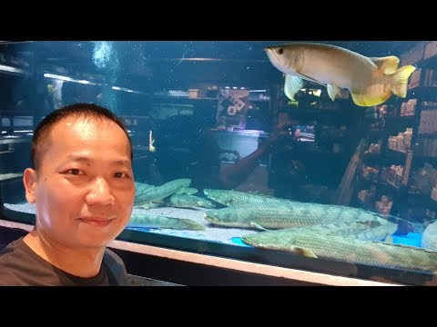 LIOW VIDEO: Visit to Nanyang Aquarium + arowana eat mantis 鱼场看观赏鱼