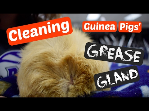 Cleaning Guinea Pigs' Grease Gland