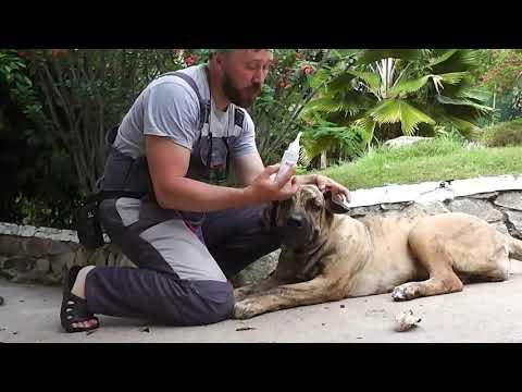 Как почистить уши собаке и чем