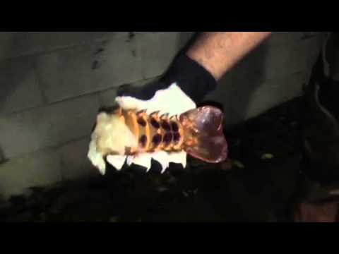 Clean a California spiny Lobster