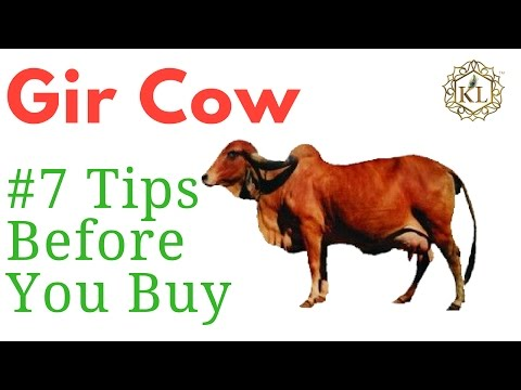 Searching Gir Cow for Sale in Gujarat? | Know 7 Tips Before You Buy Gir Cow for Dairy Farming