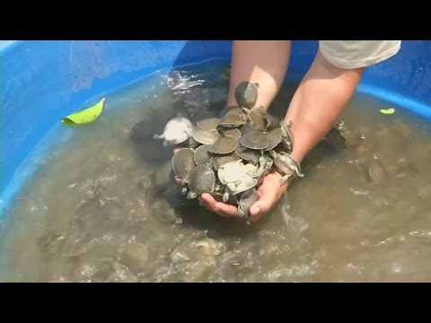 Baby turtles released into the wild in Bolivia