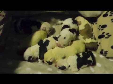 How to care for newborn english bulldog puppies