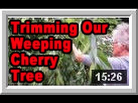Weeping Cherry Tree - Wisconsin Garden Video Blog 535