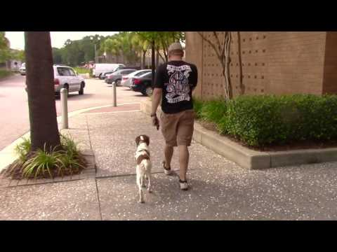Brittany Spaniel Training, hunting dog obedience training, South Carolina and Georgia