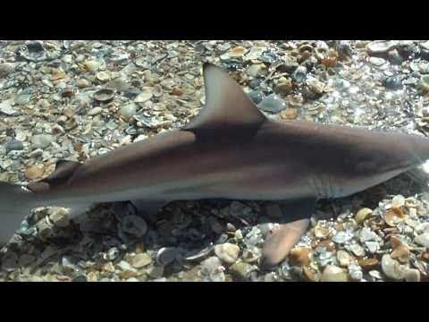 Baby Blacktip Shark Attack: How NOT To Hold A Shark!!!