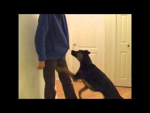 Service Dog Training: Pulling Down a Zipper