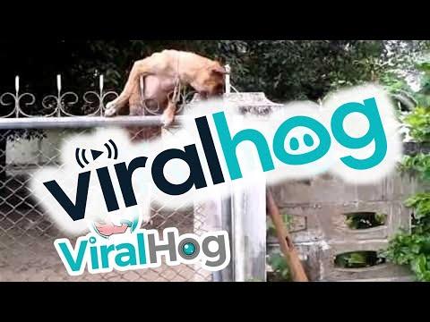 Dog Climbs a Chain-link Fence || ViralHog