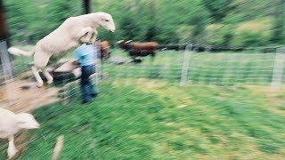Sheep ESCAPE | Unbelievable Fence Jump?