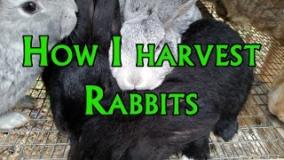 How to: Harvest a Rabbit
