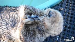 Rescued Sea Otter Munches His Clams