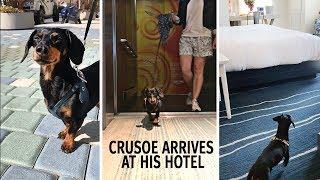 Crusoe the Dachshund Arrives at Dog-friendly Kimpton Shorebreak