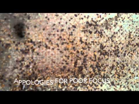 Vaporised oxyalic Acid treatment of Honey bees for Varroa mite control