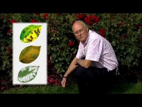 How to control pest and diseases on rose plants