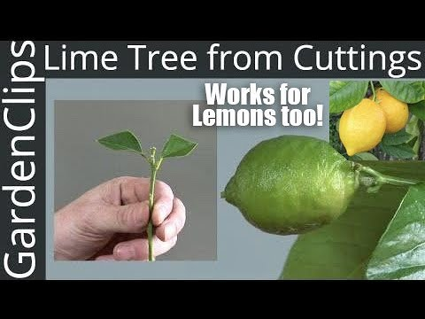 How to Grow Lime Trees from Clippings - Easy way to grow Lime Trees
