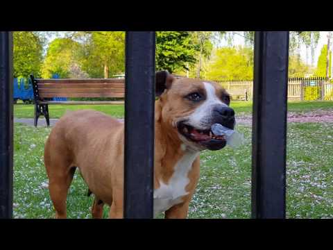 dog jumps over a tall gate so easily