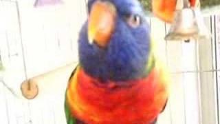 Tootsie Talks Rainbow Lorikeet