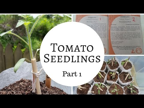 How to grow heirloom tomatoes from seed  - germination