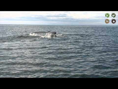 Húsavík North Iceland Salka Whale Watching HD1080 /walbeobachtung
