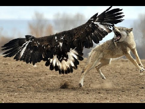Wolf owns the Eagle!!!