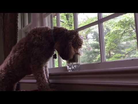 Funny Dog clip#1
