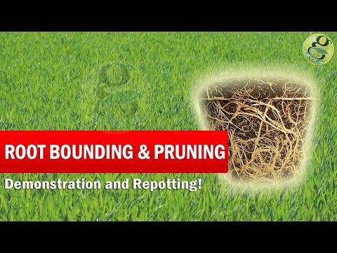 What is Root Bounding and Root Pruning | Root bound plant - Save a Dying Plant in English