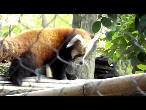 Red Pandas Eating and Playing to Classical Music