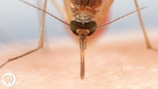 Download How Mosquitoes Use Six Needles to Suck Your Blood | Deep Look Video