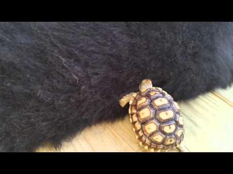 Baby tortoise burrows in Bernese Mountain Dogs fur