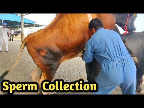 Xxx Mp4 How Collect Semen Of Bull Bovine Sperm Station India Farming Technology 3gp Sex