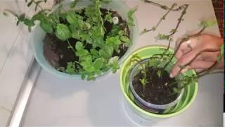 #x202b;طريقة زراعة النعناع فى المنزل/ سهلة جدا#x202c;lrm;