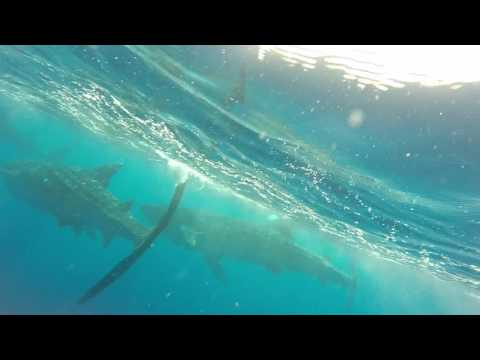 WHALE SHARK TOUR CANCUN 2016