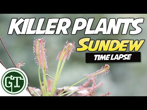 Cape Sundew Plant Eating Fly