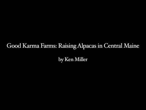 Good Karma Farms: Raising Alpacas in Central Maine