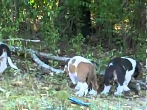 Rare Blue Basset Hound Female Puppy--See Video