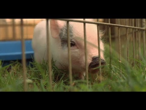 Does a Teacup Pig Make a Good Pet? | Small Pets