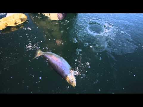 Ice Fishing Big Brown Trout