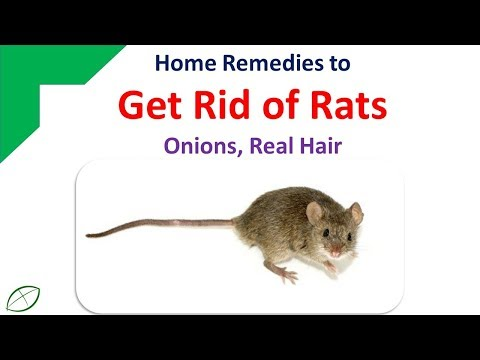 Home Remedies To Get Rid Of Rats   Get Rid Rats With Onions