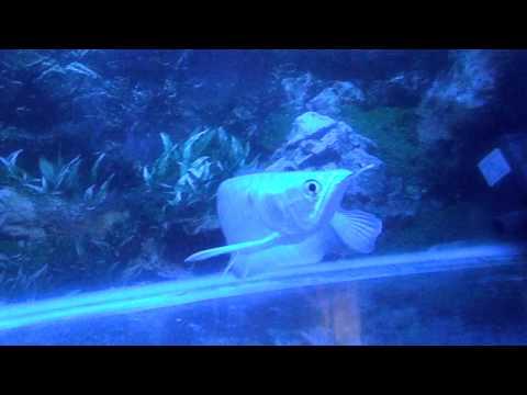 littie white dragon fish- cá ngân long nhỏ