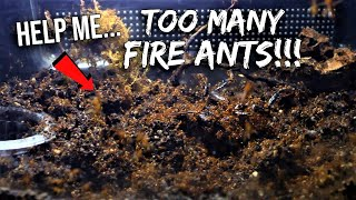 PLEASE HELP: What Should I Do With All These FIRE ANTS?