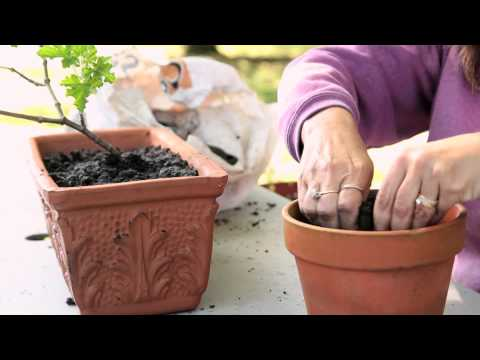 How to Transplant Geraniums From Outdoors to Indoors : Geranium Gardening