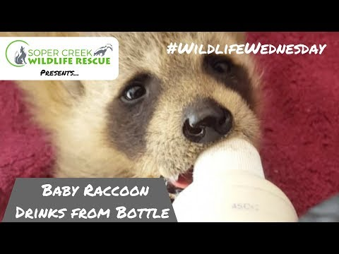 Baby Raccoon Feeding