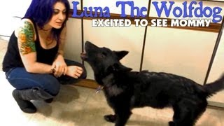 Luna The Wolfdog Is Excited When Mommy Gets Home From Work