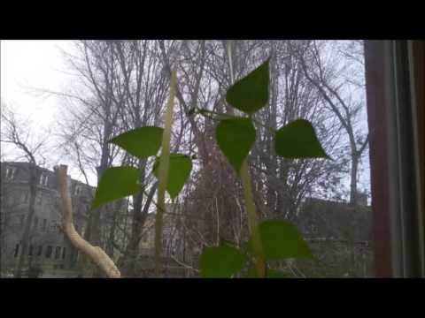 DIY Vertical Window Garden- Bean Plants