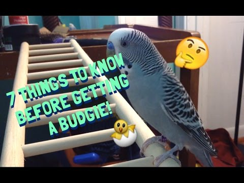 7 Things You Should Know Before Getting A Budgie!
