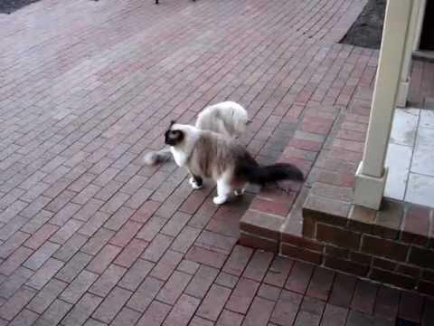 Ragdoll Cats Come Like Dogs - ラグドール - Floppycats
