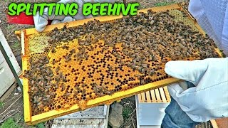Splitting a Beehive