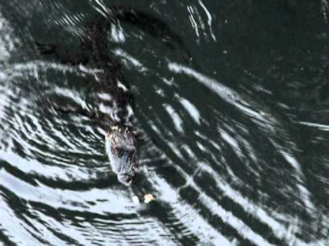 Baby gator and the fish in Florida